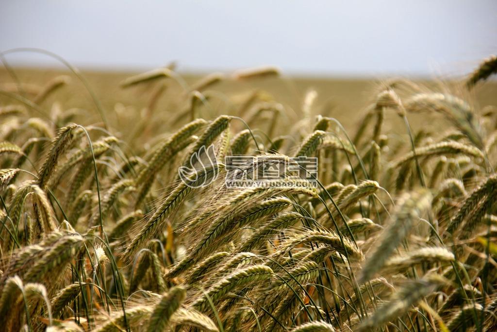 小麦农田背景